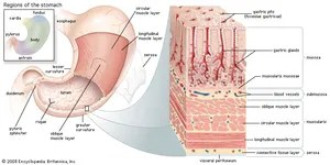 human cell wall diagram labeled australian house light switch wiring mucous membrane | anatomy britannica.com