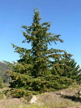 douglas fir description uses