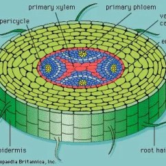 Plant Pith Diagram Cross Section 1999 Honda Civic Fuse Primary Xylem Tissue Britannica Com Figure 9 Of A Typical Root Showing The And Phloem