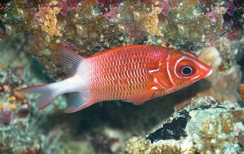 squirrelfish fish britannica com