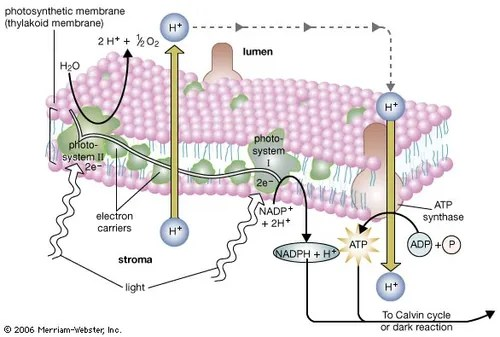 light reactions photosystem diagram of the human nose and throat ii biology britannica com reaction photosynthesis occurs in two photosystems units