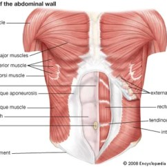 Major Muscle Diagram To Label 2006 Mazda 6 Wiring Human System Functions Facts Britannica Com Muscles Of The Abdominal Wall
