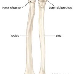 Forearm Bones Diagram Epiphone Nighthawk Wiring Anatomy Britannica Com