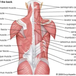 Major Muscle Diagram To Label Mitsubishi Eclipse Radio Wiring 2003 Human System Functions Facts Britannica Com Muscles Of The Back