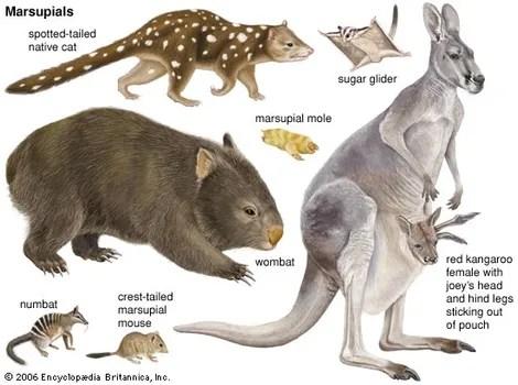 marsupial definition characteristics animals