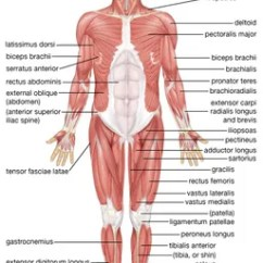 Major Muscle Diagram To Label Wheel Horse Wiring Human System Functions Facts Britannica Com Muscular Anterior View