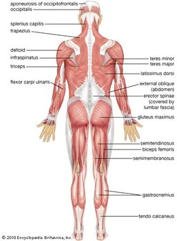 major muscle diagram to label 12 volt wiring symbols human system functions facts britannica com muscular posterior view