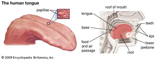 human taste buds diagram 12vdc to 12vac converter circuit chemoreception the senses of and smell britannica com on tongue exhibit sensitivity specific tastes