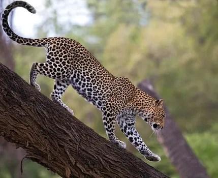 leopard description habitat facts
