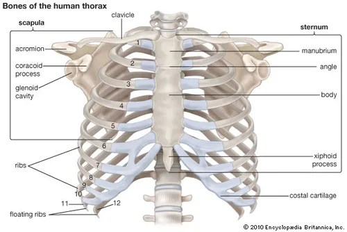 rib cage bone diagram 2008 ford f250 wiring thoracic cavity anatomy britannica com human