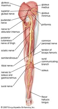 human leg anatomy diagram wiring 1998 dodge ram 2500 britannica com posterior view of the right showing sciatic nerve and its branches