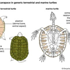 Diagram Turtle S Head Triumph Tr6 Pi Wiring Species Classification Facts Britannica Com Skeleton A Plastron And B Carapace Showing The Relationship Between