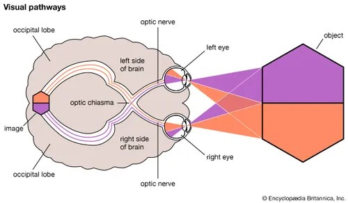 diagram of the left eye 2005 honda accord lx radio wiring human higher visual centres britannica com pathways encyclopaedia inc