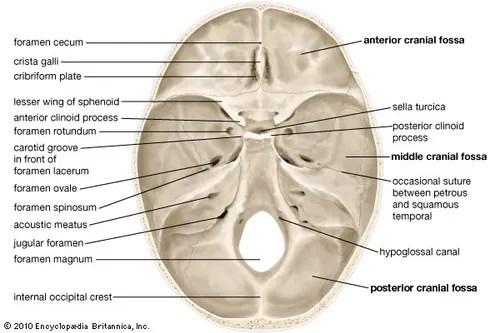 inside skull diagram simple race car wiring definition anatomy function britannica com internal surface human