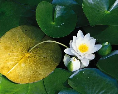 lotus in water plant diagram wiring car stereo lily family britannica com the floating leaf of a nymphaea odorata facing downward to show