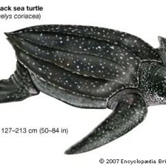 Leatherback Sea Turtle Food Web Diagram Top Of Foot Species Classification Facts Britannica Com Drawing A Dermochelys Coriacea