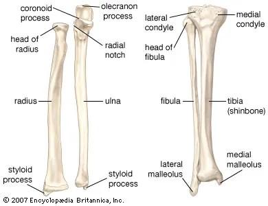 forearm bones diagram 2017 chevy sonic radio wiring anatomy britannica com left the radius and ulna of right
