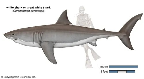 great white shark food chain diagram data flow symbols visio size diet habitat facts britannica com carcharodon carcharias