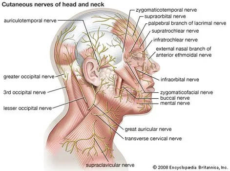 nerves in neck and shoulder diagram 2 wire pressure sensor wiring cutaneous nerve physiology britannica com of the head