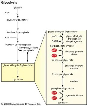 stages of glycolysis and fermentation diagram renault master 2007 wiring definition process britannica com the generation pyruvate through is first step in
