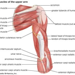 Ulnar Nerve Diagram 2 Way Splitter Anatomy Britannica Com Muscles Of The Upper Arm Posterior View