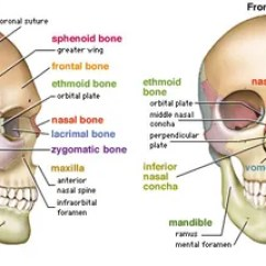 Human Skull Bones Diagram Labeled Network Wiring Rj45 Skeletal System Parts Functions Facts Left Lateral And Right Frontal Views Of The