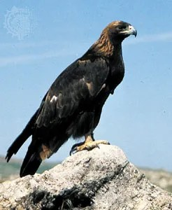 Golden Eagle Bird Britannica