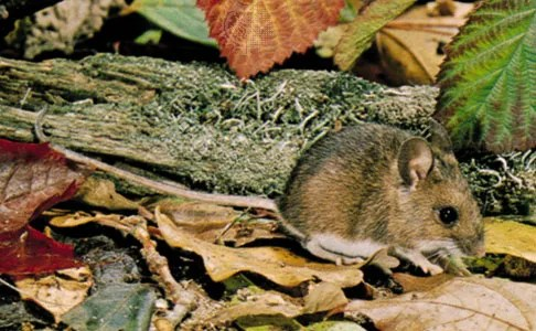 Striped field mouse | rodent | Britannica