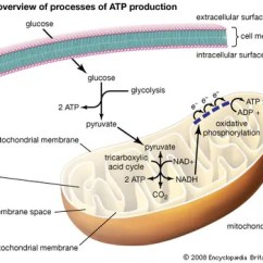 Mitochondrion Structure Diagram What Is A Scale Definition Function Facts The Three Processes Of Atp Production Include Glycolysis Tricarboxylic Acid Cycle And Oxidative
