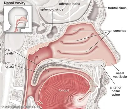 throat anatomy diagram eyeshadow application soft palate human britannica com tissues such as the in upper airway can collapse during sleep causing