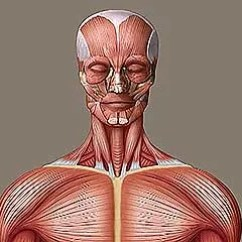 Skeletal And Muscular System Diagram Fpv Wiring Human Muscle Functions Facts Britannica Com Muscles