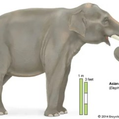 African Elephant Food Chain Diagram 2 Humbucker Wiring Description Habitat Scientific Names Weight Facts Asian