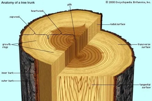 diagram the parts of cherry blossom tree wiring starter motor structure and growth britannica com a transverse slice trunk depicting major features visible to unaided eye in