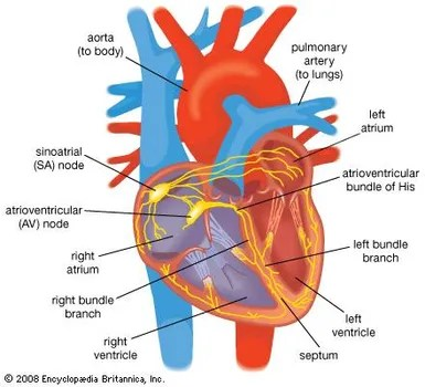 heart structure function facts