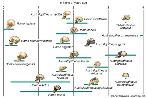 diagram of evolution timeline 3 gang one way switch wiring human stages britannica com possible pathways in the lineage