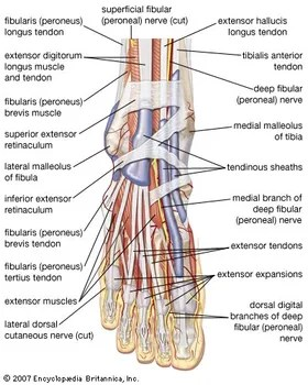 hand muscles diagram pat trap wiring human muscle system functions facts britannica com dorsal view of the right foot showing major tendons and nerves