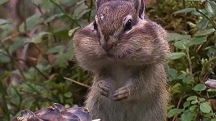 chipmunk diet habitat facts