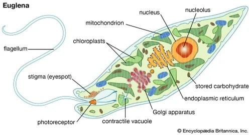euglena cell diagram with labels 2001 isuzu rodeo engine eyespot biology britannica com euglenaeuglena anatomy encyclopaedia inc