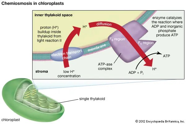 calvin benson cycle diagram shear and moment problems chloroplast | function, location, & britannica.com