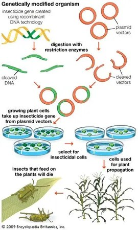 genetically modified organism   Definition Examples ...