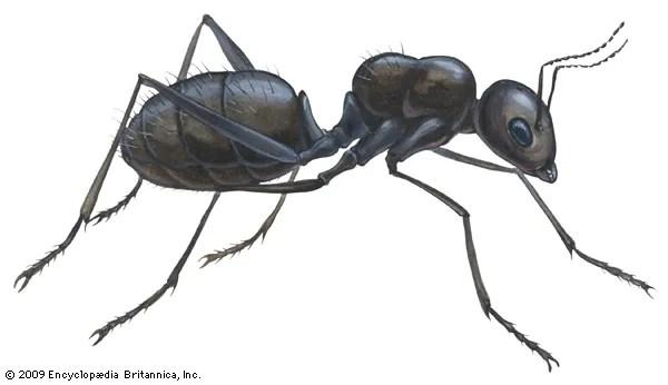 black carpenter ant
