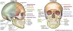 human skeleton | Parts, Functions, Diagram, & Facts | Britannica