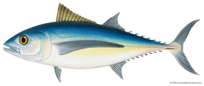 tuna | Definition Characteristics Species & Facts ...