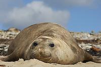 Blubbery Seal