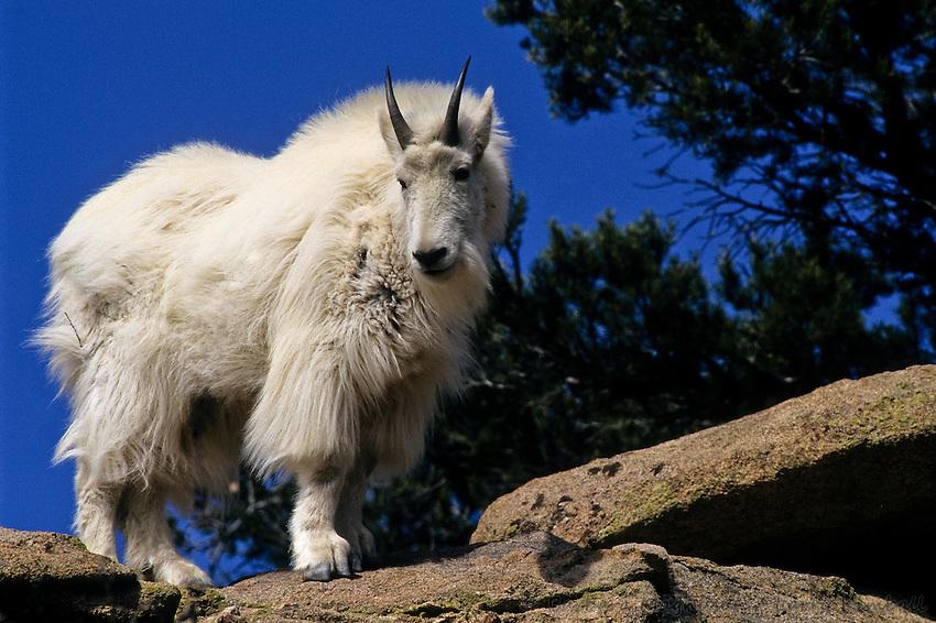 https://i0.wp.com/cdn.c.photoshelter.com/img-get/I0000IrHGEAdaE_0/s/850/850/Mountain-Goat-Oreamnos-americanus-B3GT-1588.jpg