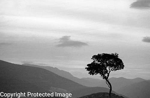 Olive Tree in Black and White, Andalusia, Spain