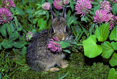 Image result for rabbit eating red clover