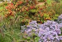 Aster oblongifolius, Pennisetum, Viburnum   Plant & Flower ...