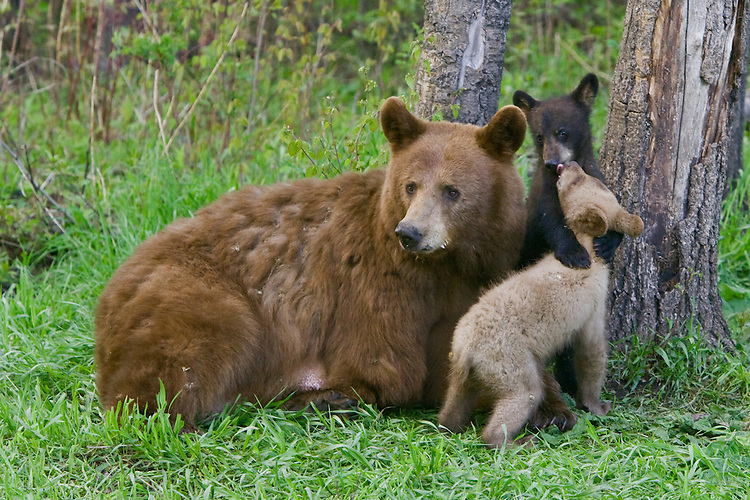 Image result for cinnamon bear