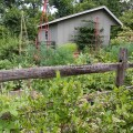 Bushes fruit and vegetable garden with fence and shed in backyard